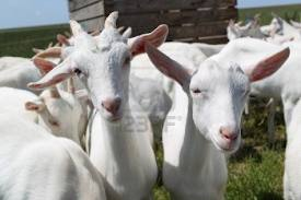 Your Hair Is Like A Flock Of Goats